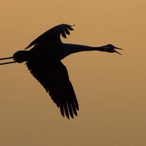 Morgendlicher Abflug der Kraniche
