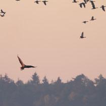Taucht ein Seeadler am Himmel auf herrscht Aufruhr bei Gänsen  und Co.