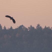 Seeadler im Jagdflug