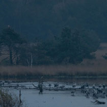 Morgendliche Stimmung bei den Kranichen im Tister Bauernmoor