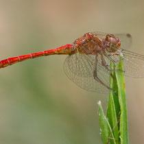 Sympetrum meridionale - Maschio (foto M.Pettavino)