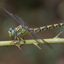 Onychogomphus forcipatus unguiculatus - Femmina (Foto M.Pettavino)