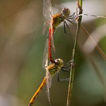 Sympetrum depressiusculum - Tandem (foto M.Pettavino)