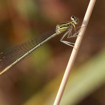 Platycnemis pennipes - Femmina (Foto M.Pettavino)