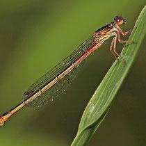Ceriagrion tenellum - Femmina (Foto M.Pettavino)