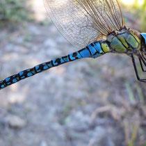 Aeshna affinis - Maschio (Foto M.Pettavino)