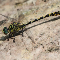 Onychogomphus forcipatus unguiculatus - Maschio (Foto M.Pettavino)