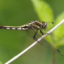 Orthetrum albistylum - Femmina (Foto M.Pettavino)