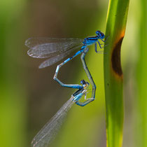 Coenagrion caerulescens - Accoppiamento (Foto M.Pettavino)
