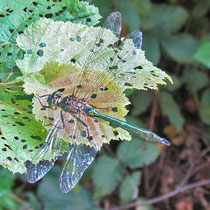 Somatochlora metallica - Maschio (Foto M.Pettavino)