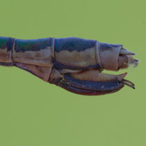Lestes dryas - Ovodepositore (foto M.Pettavino)