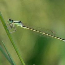 Ischnura pumilio - Maschio (Foto M.Pettavino)