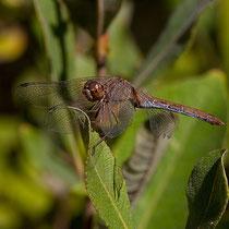 Sympetrum striolatum - Femmina anziana (Foto M.Pettavino)