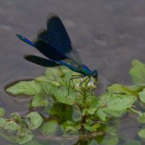 Calopteryx splendens - Maschio (foto M.Pettavino)