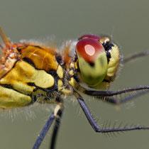 Sympetrum depressiusculum - Maschio (foto M.Pettavino)