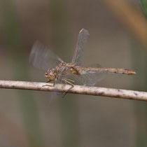 Sympetrum meridionale - Femmina (foto M.Pettavino)