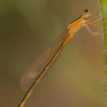 Ischnura pumilio aurantiacum - Femmina (Foto M.Pettavino)