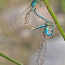 Ischnura pumilio - Accoppiamento (Foto M.Pettavino)