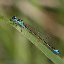 Ischnura elegans - Maschio (Foto M.Pettavino)