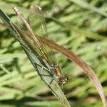 Calopteryx splendens - Femmina (foto P.Caroni)