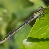 Enallagma cyathigerum - Femmina (Foto M.Pettavino)