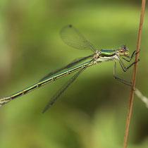 Lestes virens vestalis - Femmina (Foto M.Pettavino)