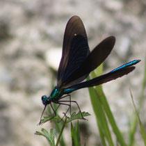 Calopteyx virgo - Maschio (foto P.Caroni)