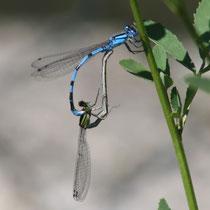 Enallagma cyathigerum - Accoppiamento (Foto P.Caroni)