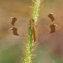 Sympetrum pedemontanum - Femmina (Foto M.Pettavino)