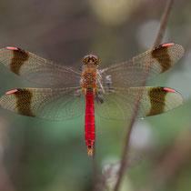 Sympetrum pedemontanum - Maschio (Foto M.Pettavino)