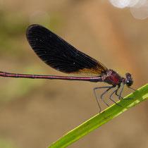 Calopteryx haemorrhoidalis - Maschio (foto M.Pettavino)