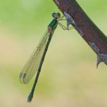 Lestes viridis - Femmina neosfarfallata (foto M.Pettavino)