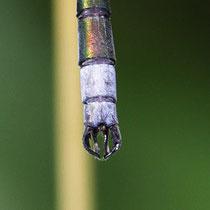 Lestes sponsa - Appendici (foto M.Pettavino)