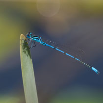 Coenagrion puella - Maschio (Foto M.Pettavino)
