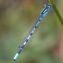Enallagma cyathigerum - Maschio (Foto M.Pettavino)