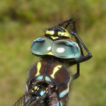 Aeshna juncea - Strie anteumerali lunghe (Foto M.Pettavino)