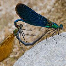Calopteyx virgo - Accoppiamento (foto M.Pettavino)