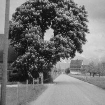 Wangen Baum Zürcherstr. 1966