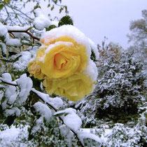Landhaus Wildfeuer: vereiste Rose