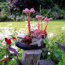 Landhaus Wildfeuer: Hauswurz im Garten