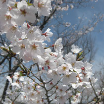 二本松跡の桜