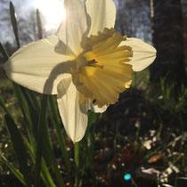 Sechs verschiedene Narzissensorten wachsen im Kattgård-Garten