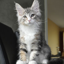 Bentley, silver classic tabby & white, male