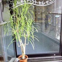 ¥9000 65×168x35  造花ドラセナ・コンシンネ