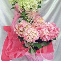 ¥5000 34x54x45 紫陽花(旭の舞姫)&水無月の寄せ鉢