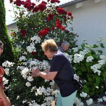 Kletterrose Santana am Rosenbogen, davor Kew Gardens
