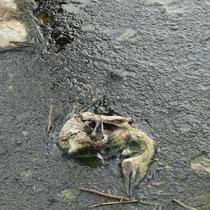 Das zweite abgeworfene Küken.   Foto: Ulrike Mose  14.06.2012