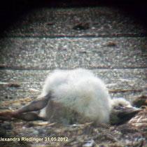 Aus dem Nest geworfen am 31.05.2012    Foto: Riedinger