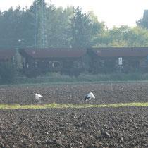 Paul + Pauline  auf einem Feld, zwischen Wabern + Niedermöllrich.    Foto: Ulrike Mose