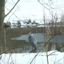 Graureiher am Teich am 14.3.13   Foto: Ulrike Mose